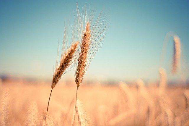 suchá pšenice